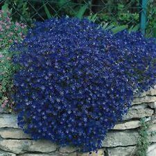 Rock Cress Cascading-(Aubrieta Hybrida Superbissima)- Cascade Blue- 50 Seeds