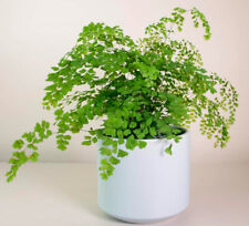 Maidenhair 50 PCS Flower Potted Herb Home Garden Seeds Bonsai Summer Planting