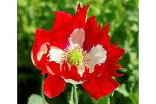 Papaver Somniferum 'Victoria Cross' 4100 Seeds Hardy Annual