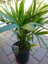 Plants Cascade Palms   200mm pots   approx 45cm hgt    $28-00ea   LOVELY PLANTS