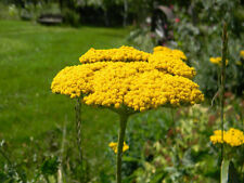 yarrow, Perennial Gold, Yellow, 560 seeds! GroCo*