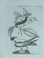 1783 Original Estampado Laurus Cinnamonum Larus Atricilla