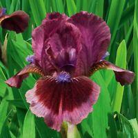 "Cat's Eye Iris Plant 4"" Pot | Fragrant Reblooming Scarlet Red Flowers Perennial"