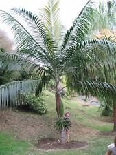 10 Princess Palm Seeds - Dictyosperma Album Rubrum Hurricane USA - BKSeeds