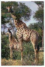Giraffe & Baby, Mammal of Africa, Ethiopia Kenya etc. - Modern Animal Postcard