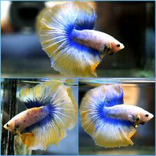 New listing Live Betta Fish Dragon Inner Blue Yellow Banding Halfmoon Hm Male #C174