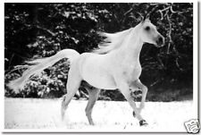 White Snow Horse - Animal Nature Mare Print  NEW POSTER