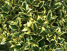 Strauchpflanzen für kaltes Klima und volles Sonnenlicht