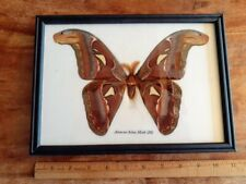 Real Giant Atlas Moth M Butterfly Insect Display Taxidermy Worlds Largest Moth