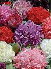 Country Cottage Peony Poppy Mix Flower Seeds  (Papaver Somniferum) 500 + Seeds