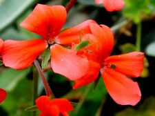 Pelargonium Tongaense The Oak Dene Pelargonium
