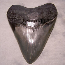 "Megalodon Shark Tooth 5 1/8"" Massive jaw Fossil Sharks Teeth Tip Megladon Sharp"