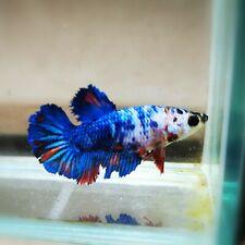 "Live Betta Fish - Female Halfmoon -""Koi Candy Fancy"" Betta High Quality (QJUL3)"