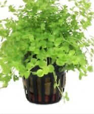 Potted Monte Carlo (Micranthemum) – Easy Carpet Aquarium Plant Fish Tank Decor