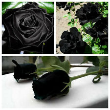 200Pcs Mysterious Black Rose Flower Plant Seeds Beautiful Black Rose Home Garden