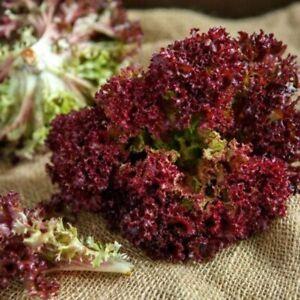 Seeds Lettuce Lollo Rossa Red Сhampion Salads Vegetable Organic Heirloom Ukraine