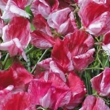 Flower Seeds Sweet Pea Old Spice America Cut Bedding Garden Pictorial Packet UK