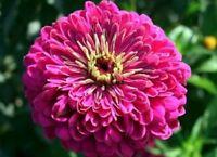 Zinnia- Elegans - Violet Queen - 100 Seeds