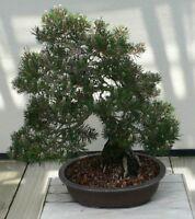 i! SCHWARZKIEFER !i Zimmerpflanze Zierbaum Winterharten Sämereien Bonsai Samen
