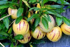 Pepino melon (Solanum muricatum) x 1 plant. Combine postage
