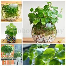 50x Hydrocotyle vulgaris Pilea Seeds Green Water/Soil Plant High Germination NEW