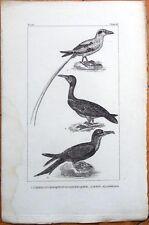 L'Oiseau Du Tropique Ou Le Paille En Queue/Fou/Fregate - 1830s French Bird Print