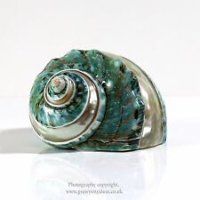 Polished Green Carved Banded Turbo Large seashell  6-7.5cm