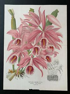 L'Illustration Horticole; J. Linden, Cattleya maxima (orchid), Vol 17, 1870