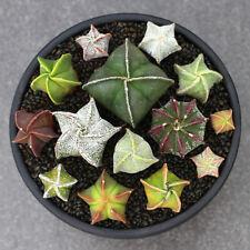 Astrophytum myriostigma cactus Succulent plants Home Garden Bonsai