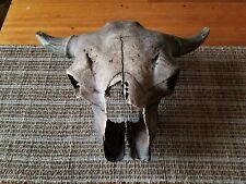 Authentic Ancient Prehistoric Bison Skull Oklahoma Well Preserved