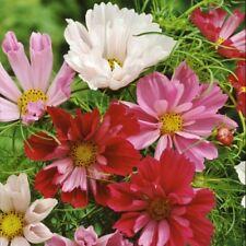 FLOWER COSMOS BIPINNATUS SEASHELLS MIX 100 FLOWER SEEDS (ORGANIC)