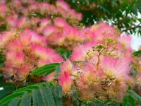Persian silk tree/ bonsai - Albizia ( Albizia julibrissin )  15 Seeds