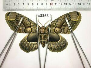 W3365 # Real Brahmaeidae Brahmaea owl moth Vietnam