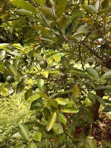 Calamansi Citrus Fruit Tree 1 x PLANT Seedling TubestockCalamansi