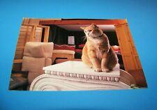"New listing Cat ""American Shorthair"" Postcard"