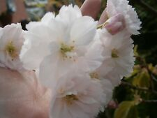 Prunus Shizuka - Home Pot Grown 10 foot + Ornamental White Cherry Tree :) No. 2
