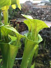30 frische Samen Sarracenia Oreophila, Sand Mountain, Karnivore, Ernte 07/18