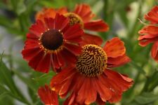 3 Helenium Red Shades autumn Flowering Hardy tall perennial Plant
