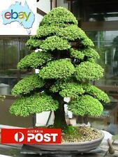 20 X JAPANESE CEDAR BONSAI / TREE SEEDS