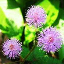 New 1 Pack 30 Seeds Foliage Mimosa Pudica Sensitive Garden Plant seed FMCA EF