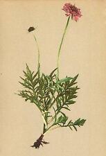 ALPENFLORA ALPINE FLOWERS: Scabiosa Lucida Vill-Glänzendes Krätzenkraut;1897