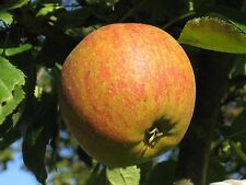 Cox's Orange Pippin Apple Tree 4-5ft Tall, Ready to Fruit Classic English Apple