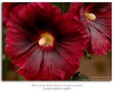 GIANT SCARLET RED DANISH HOLLYHOCK FLOWER SEEDS 50+