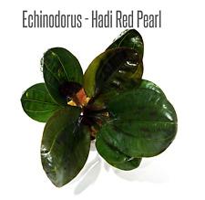 Echinodorus Hadi Red Pearl Amazon Sword bundle Freshwater Live Aquarium Plants