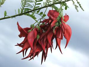1x Clianthus puniceus ( RED Kaka Beak / Parrot Beak / New Zealand Glory Pea )