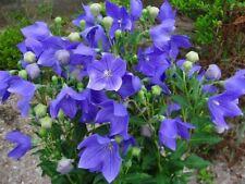 BLUE Platycodon grandiflorus 'Mariesii' BLEU 100 Graines 100 Zaden 100 Seeds