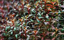 5 (cinco) esquejes de Ludwigia Arcuata-increíble planta acuática