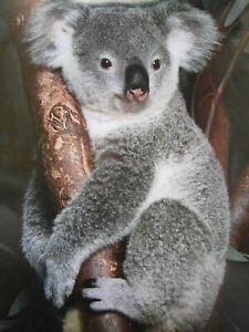 Mini Poster Koala Australia Australian Wildlife Koalas