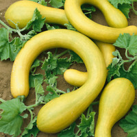 Vegetable - Courgette - Tromboncino - 10 Seeds