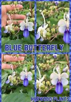 "Blue Butterfly , 🦋 CLERODENDRUM UGANDENSE BUSH PLANT  6+"" TALL BEAUTIFUL No Pot"